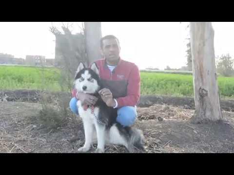 الكلبه كان عندها سرطان والعدوى وصلت للكلب وبقت مشكله / امراض الكلاب الخطيره