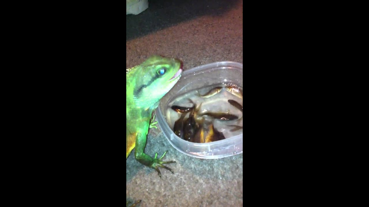 Water dragon eating fish youtube for What do fish eat in the ocean
