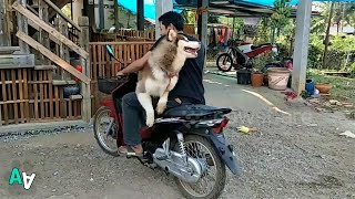 Pet Husky Hops on Motorcycle to Go for a Ride