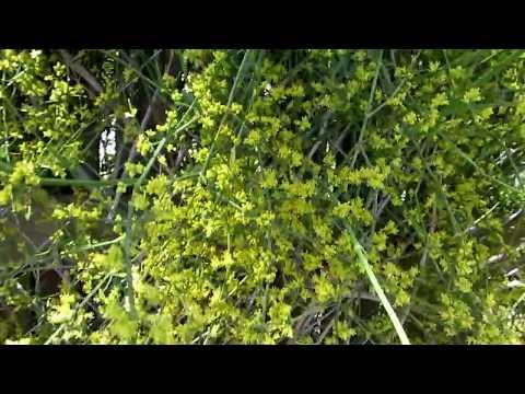 Голосеменные растения. Полезные свойства эфедры и гинкго.