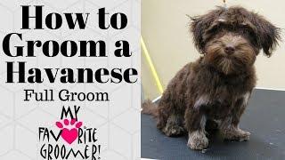 How to Groom a Havanese thumbnail