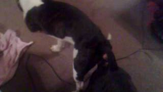My 2 Staffordshire Bull Terriers Mating First Time..