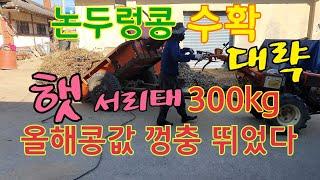 콩탈곡기/햇서리태~백태/수확량감소,.비싼콩가격!