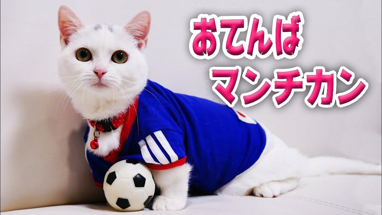【秘蔵動画】白猫マンチカンがお転婆なのはいつから?振り返ってみた! It was from this time that the white Munchkin cat became active!
