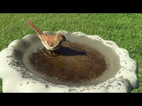 Brown Thrasher Takes A Bath 4 27 2014