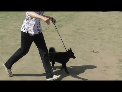 Схипперке, Шипперке, Породы собак Бельгии