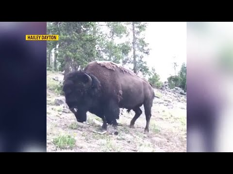 9-year-old girl injured by bull bison in Yellowstone National Park