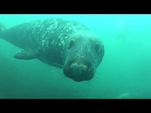 Diveworld Videos | Diveworld with the Farne Island Seals part 2