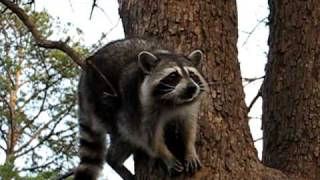 """Lone Ranger"" catches and eats cracker in tree, part 1"