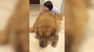 Gentle Giant Mastiff Plays With Baby