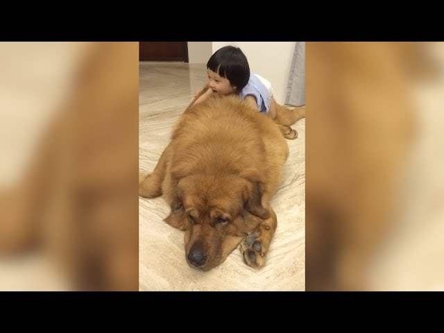 Gentle Giant Tibetan Mastiff Plays With Little Girl
