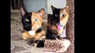 Двуликая кошка Венера ^.^