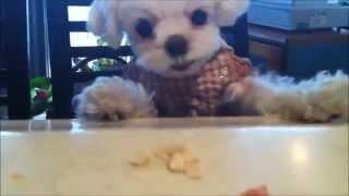 マルチーズの愛香ちゃん、 おやつを目の前にして急に怖い顔して唸り出し...