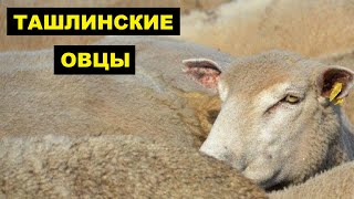 Разведение Ташлинской породы овец как бизнес идея | Овцеводство | Овцы Ташлинские