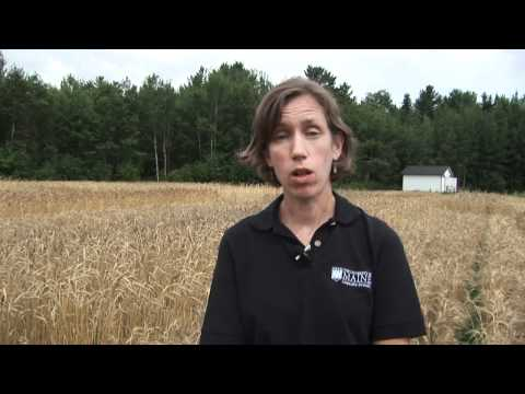 Research About New England's Organic Wheat Crop