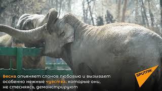 Влюбленные слоны из Алматы полны нежности после долгой зимы