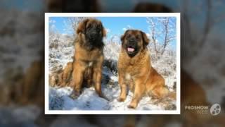 Леонбергер порода собак