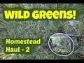 Wild Greens: Homestead Haul 2 with wild geranium, wild lettuce, sowthistle