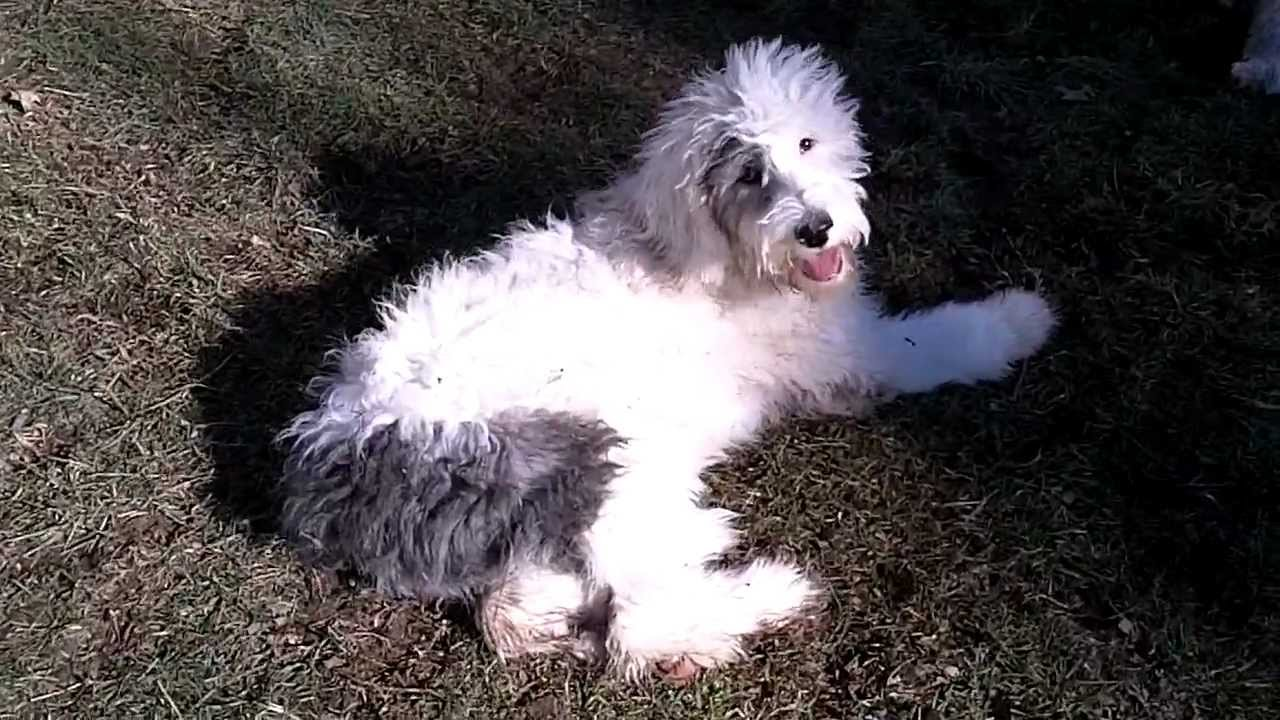Sheepdog Poodle Mix Sheepadoodle Shop For Your Cause