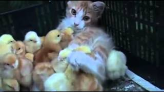 Feline cat mother of little baby chicken [OFFICIAL]