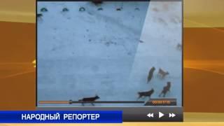 Народный репортер: Стаи собак