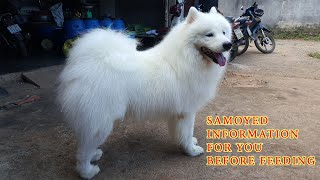 About Samoyed Dog Breed Information 2021/ You Should Know It Before Breed A Samoyed Dog