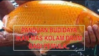 Video Kupas Tuntas! Cara Budidaya Ikan Mas Kolam Drum Bagi Pemula download MP3, 3GP, MP4, WEBM, AVI, FLV November 2018