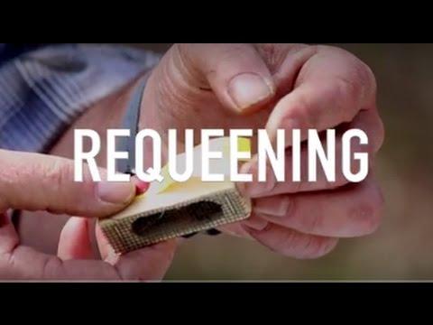 Requeening