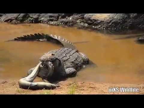 Nile Crocodile Eating Eel