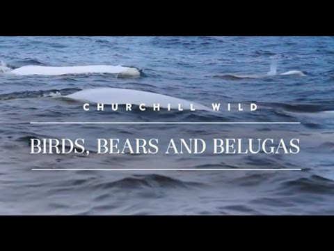 Birds, Bears and Belugas -- Churchill Wild Polar Bear Safaris