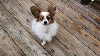 ブリーダーさんより 数日後我が家へお迎えするパピヨンの子犬 ルフィの...