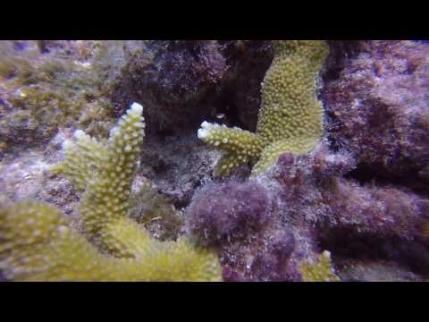 Baby Yellowtail Damsel (Jewelfish)