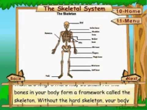 learn science | class 5 | human body -|the skeletal system, Skeleton