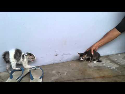 Jatiwarna Kitten