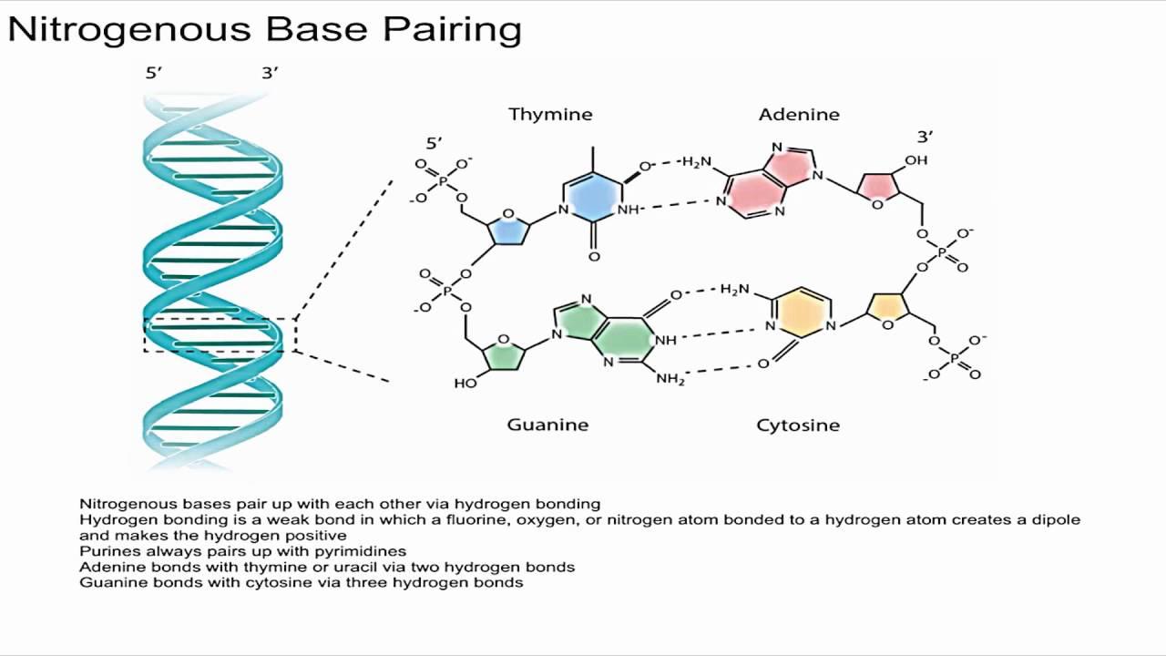 nitrogeneou base dna diagram [ 1280 x 720 Pixel ]