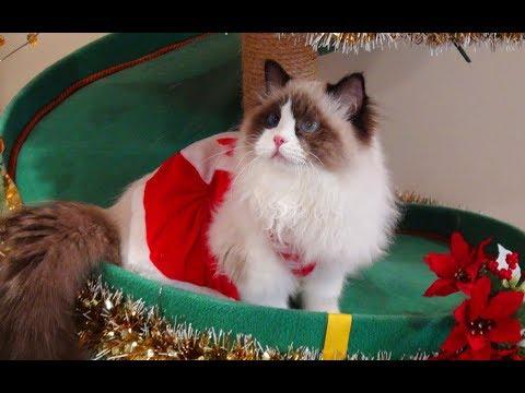 Ragdoll Kittens 1st Christmas!