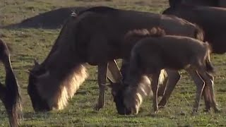 Mass Wildebeest Exodus - Massive Nature - BBC