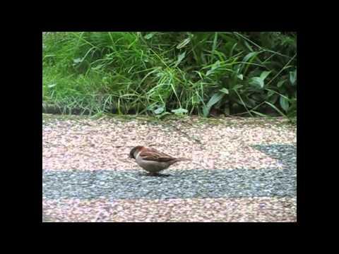 воробей проныра городской sparrow