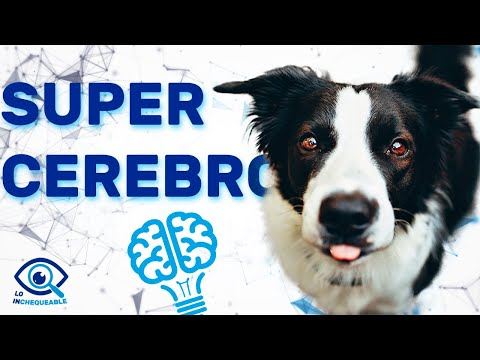 Documental Sobre El Border Collie - SobreNaturaleza