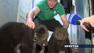 Медведи живут в иркутской квартире
