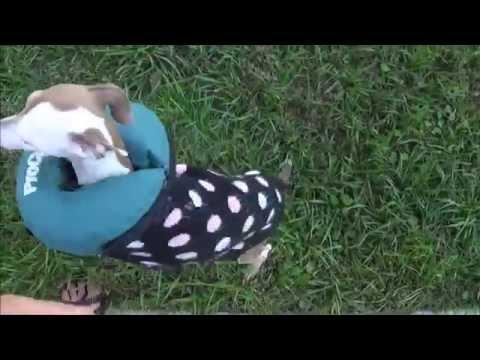 My Italian Greyhound and Doxies