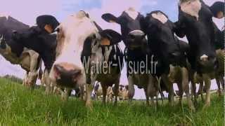 Troupeau de Vaches laitières Prim Holstein sur prairie.mp4