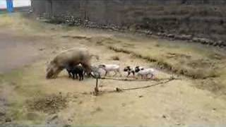 Mother pig and her babies