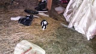 Güvercinlerin yuvasına doran tavşan