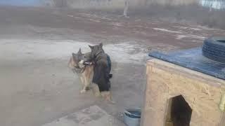 Собаки гомосеки