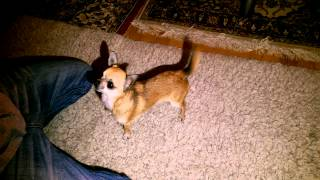 Dogtraining - How To Train Your Dog To Bark On Command!