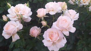 роза Чандос Бьюти и ее подружки