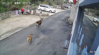 Dog chasing deer! Wild sika deer spotted by villager in E. China's Anhui