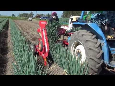 Harvest of a Welsh onion  路地栽培の長葱収穫