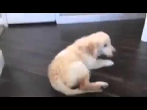 Cachorrito labrador callendo escaleras